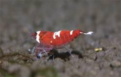 Креветка Красный Кристал (Red Crystal Shrimp)