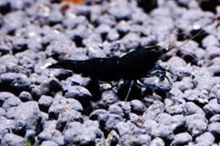 Креветка Черный Кристал (Black Crystal Shrimp)