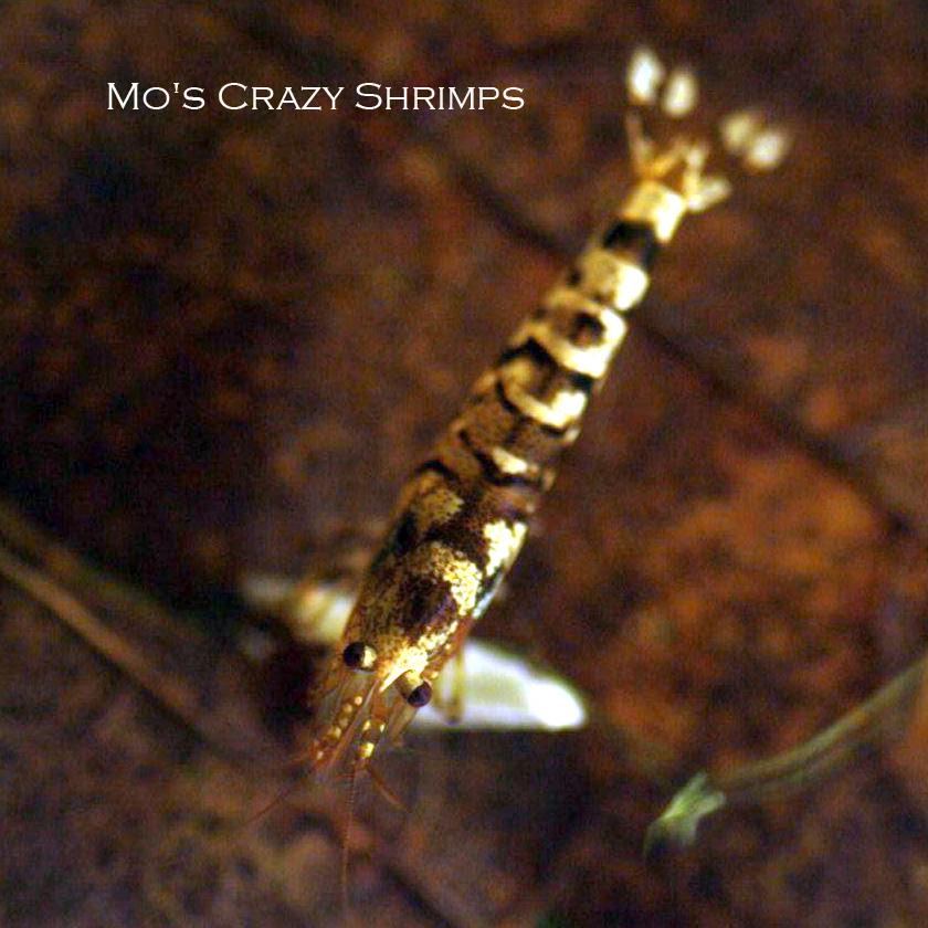 Mo's Crazy Tiger Shrimps