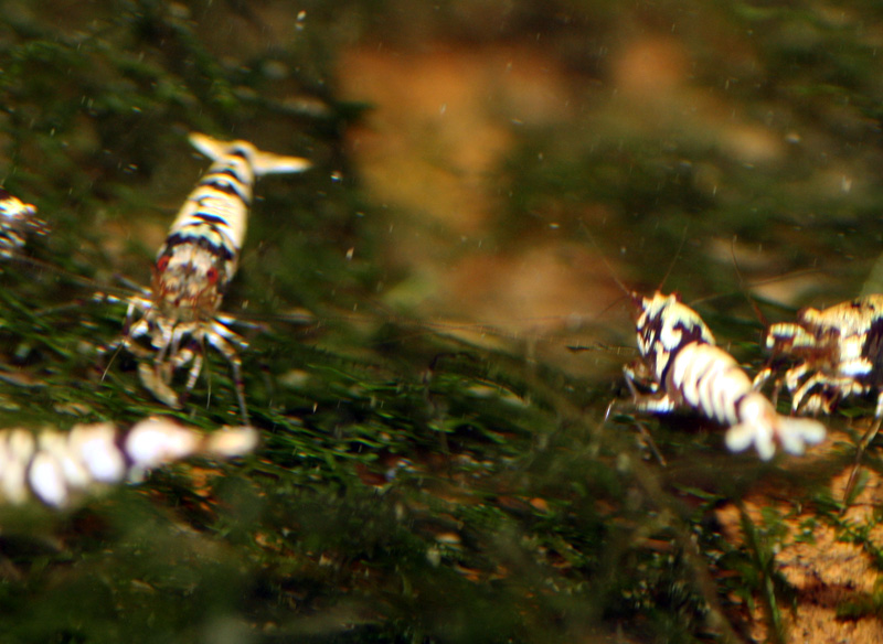 "Креветка Белый Тигр с красными глазами (White Tiger shrimp with ""Red Eyes"")"