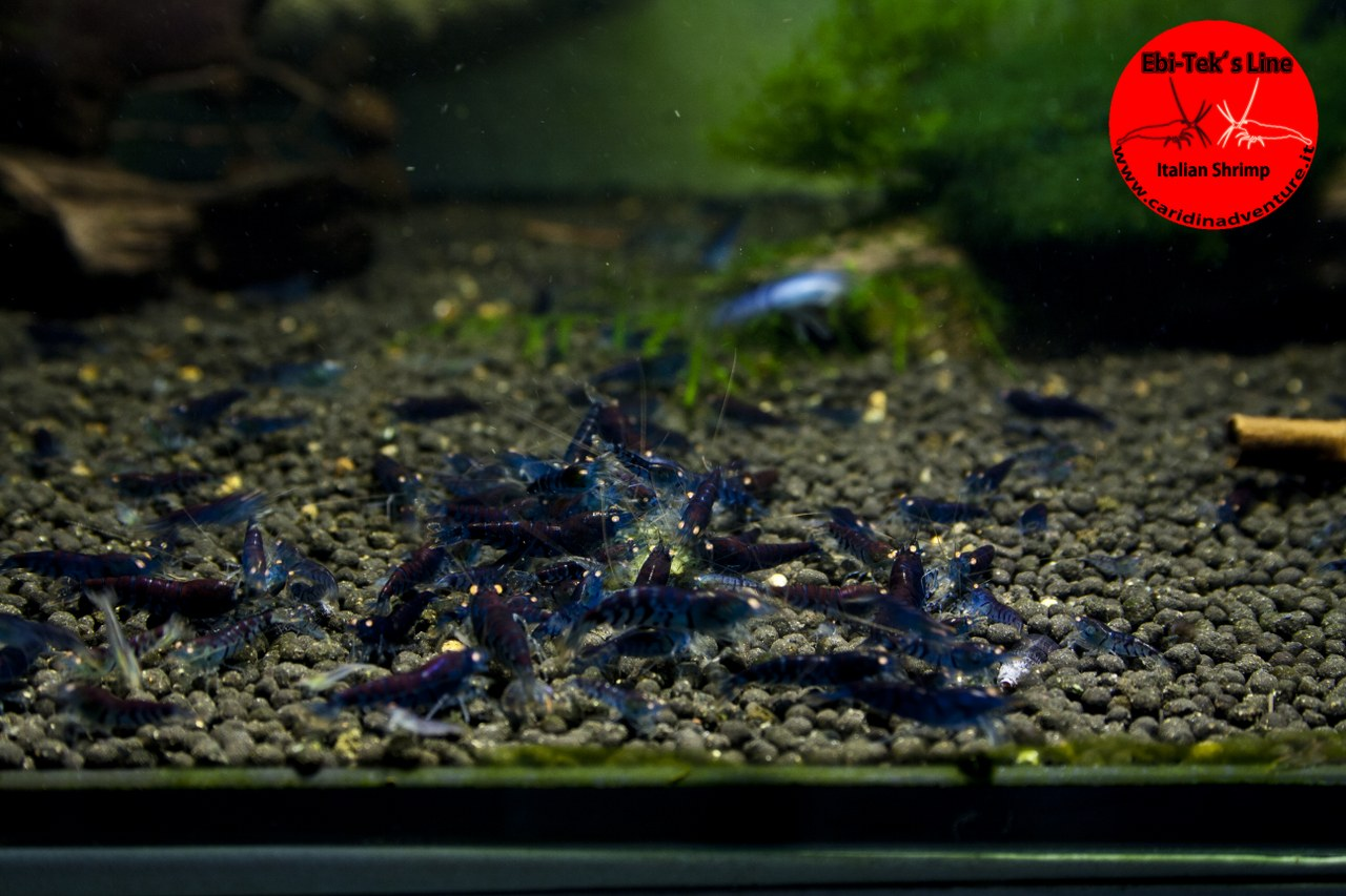 Blue tiger deep blue shrimp