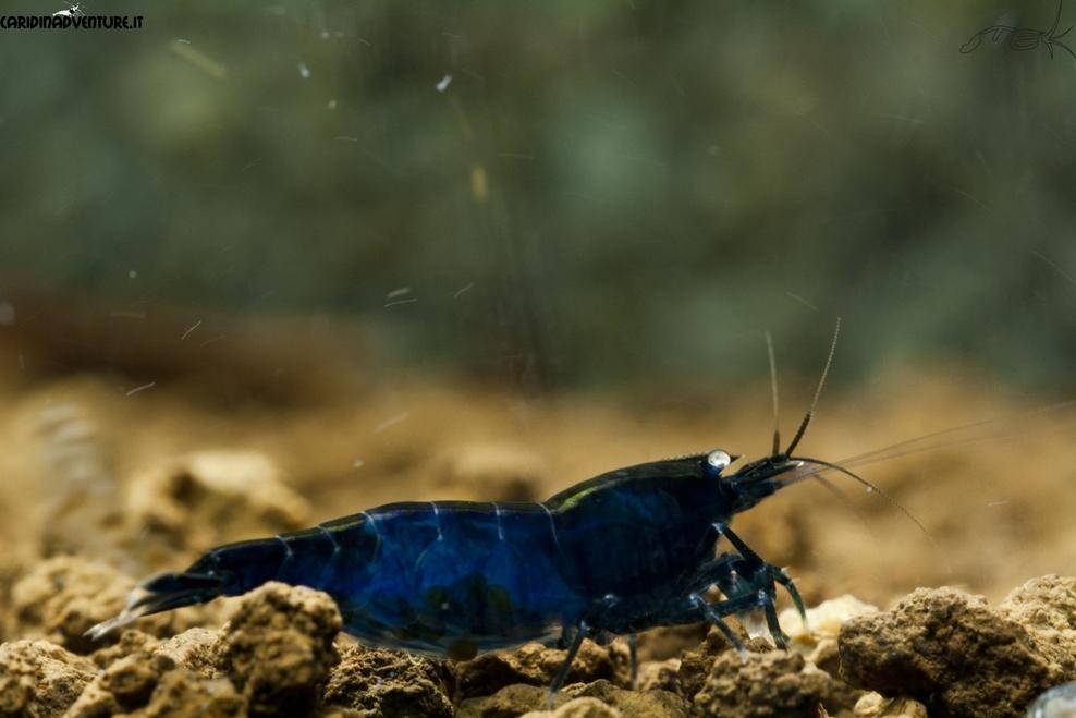 Blue di Prussia 4.jpg