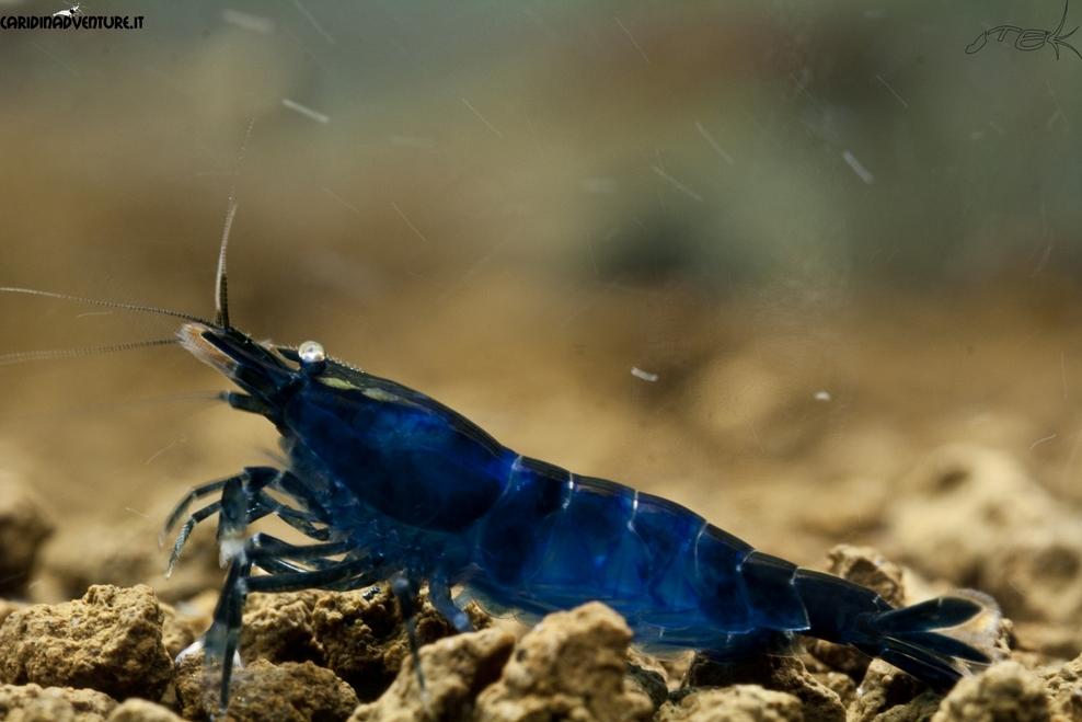 Blue di Prussia shrimp - Креветка Берлинская Лазурь