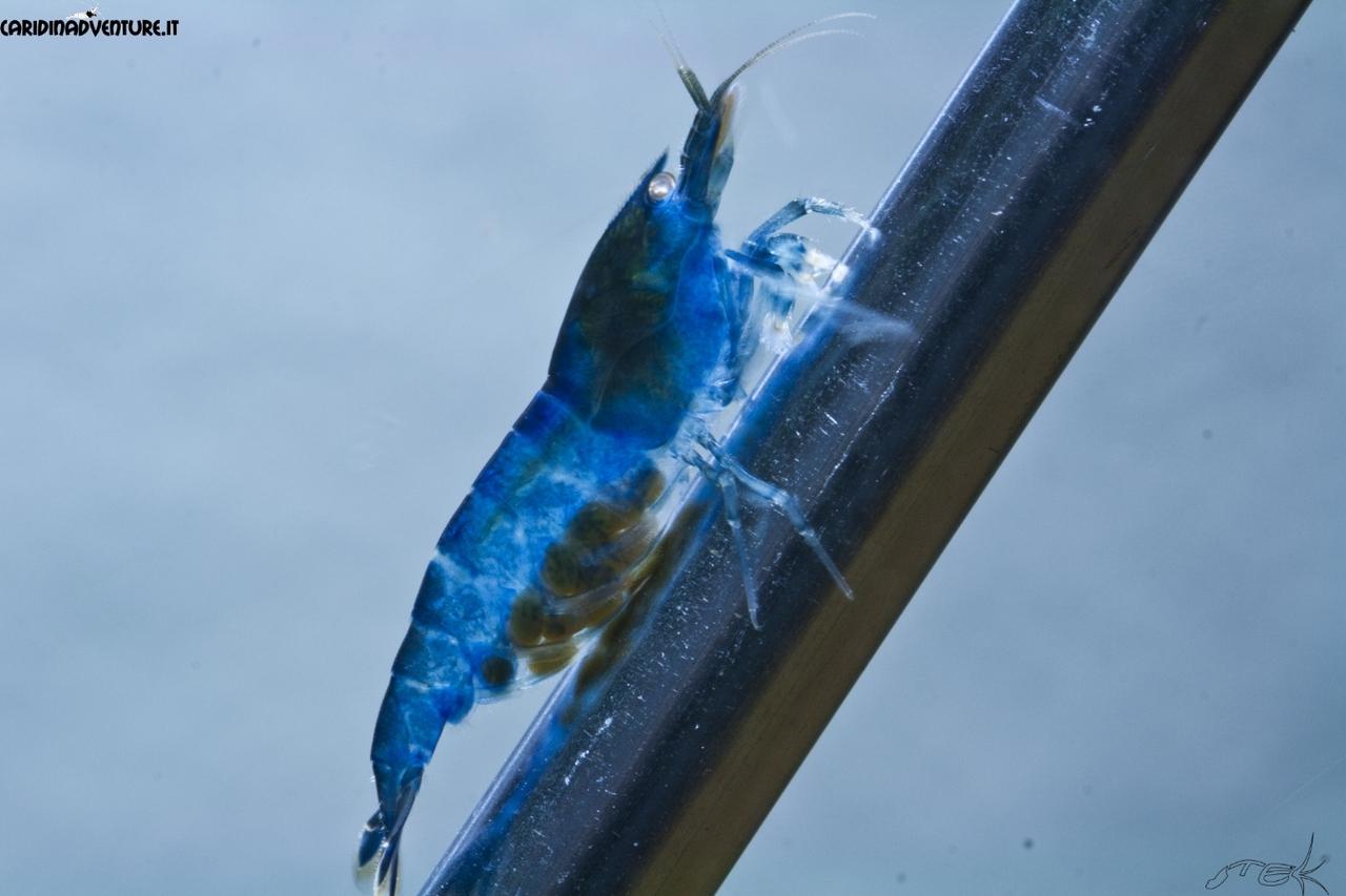 Креветка Ройал Блю (Royal blue shrimp)