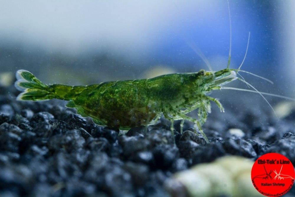Зеленая креветка (Heteropoda Green shrimp)