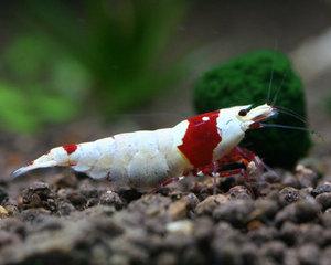"Crystal Red Shrimp ""Nishiki"""