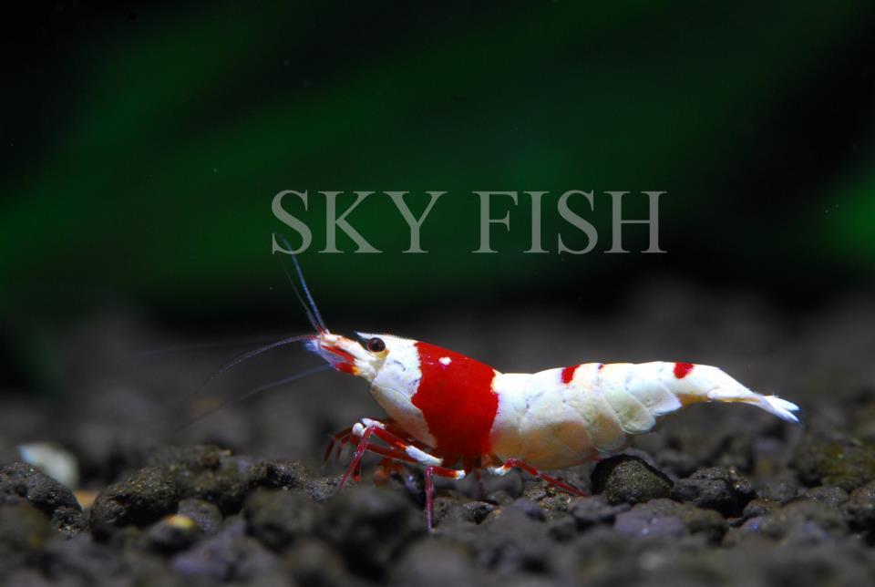 Red Crystall Shrimp (Креветка Красный Кристалл)