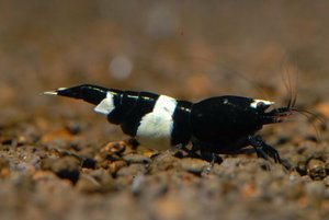 Black Crystall Shrimp (Креветка Черный Кристалл)