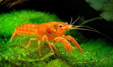 Cambarellus patzcuarensis sp. Orange Карликовый оранжевый рак.