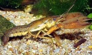 Procambarus acanthophorus.jpg