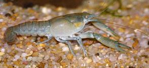 Procambarus cubensis Голубой кубинский рак.