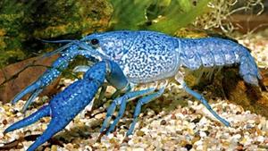 Procambarus Allenii Синий флоридский рак.