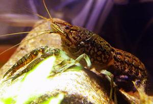 "Procambarus sp. ""marble crayfish"" Мраморный рак."